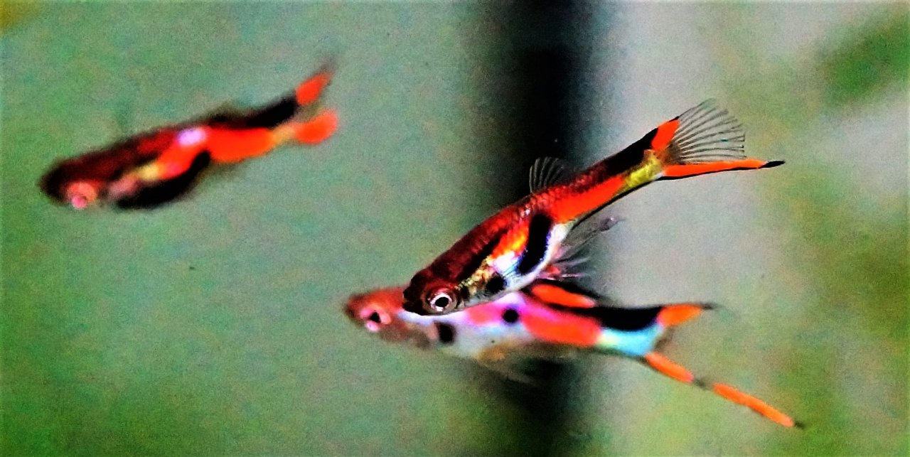 Hi How Do I Know If Ive Got Endlersguppy Crossed Or Pure Endlers