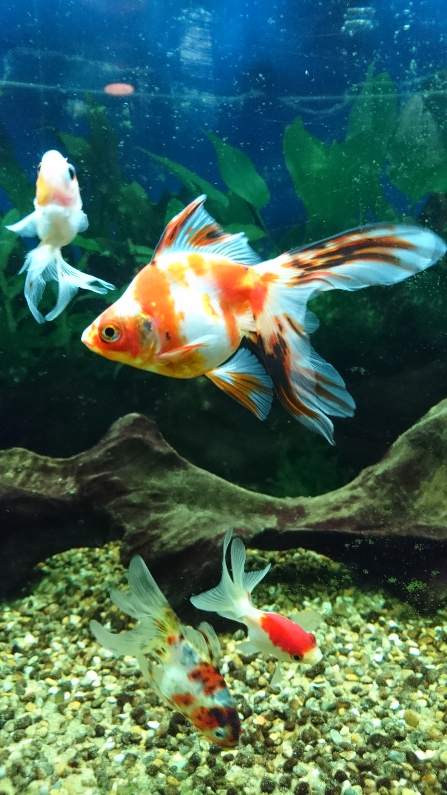 What Breed Is My Goldfish Ryukin Or Just Fantail My
