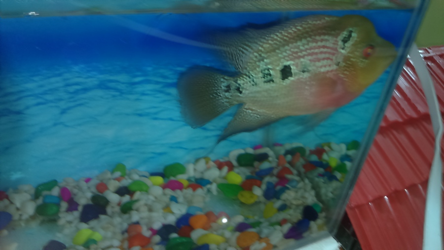 Flowerhorn Baby | My Aquarium Club
