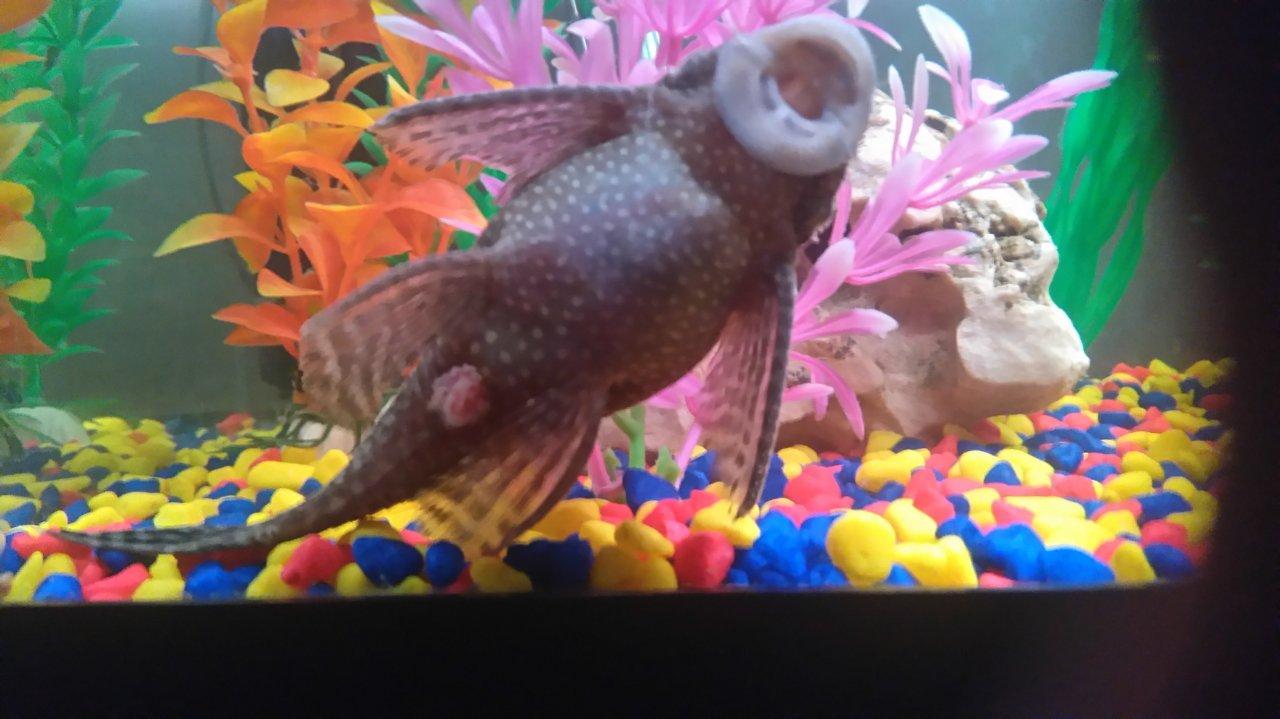 Poorly sucker fish my aquarium club for Sucker fish pictures