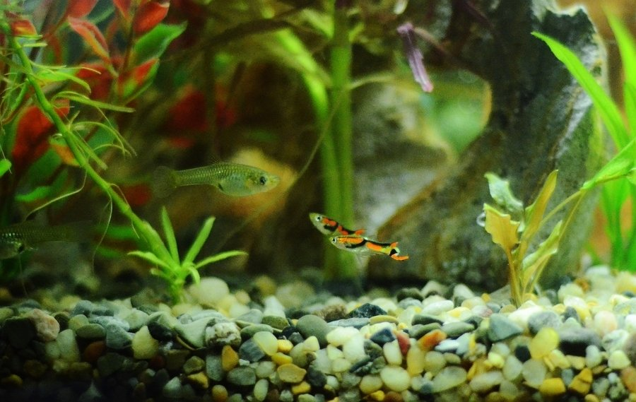 Nano fish for small aquariums my aquarium club for Well water for fish tank