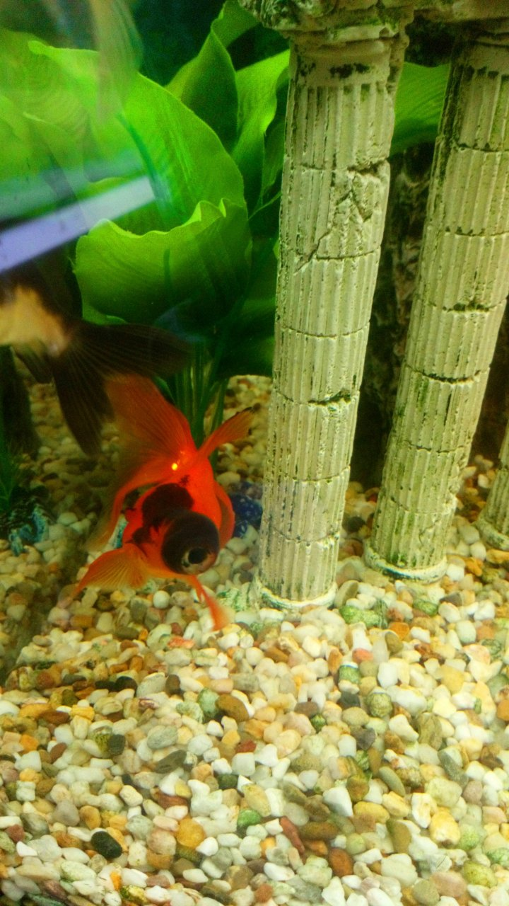 Black Moor Colour Change?!   My Aquarium Club