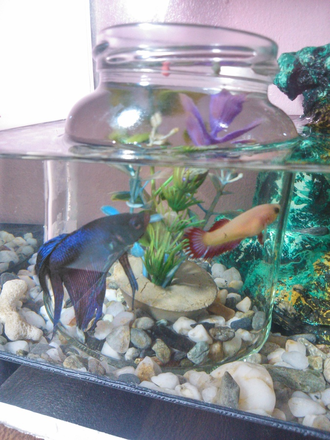 Why Is It That My Female Betta Is The One Who Is Chasing -5590