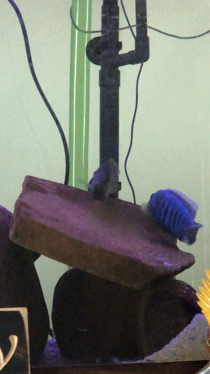 African Cichlid Breeding Behaviors My Aquarium Club
