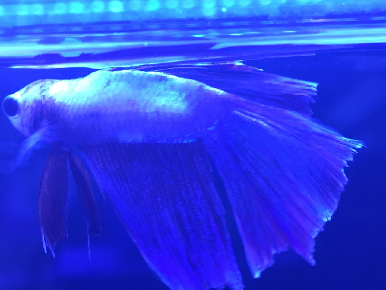 Does My Betta Have Velvet? Photo Included  Also, Am I