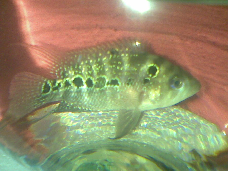 Picture of male and female flowerhorn fish