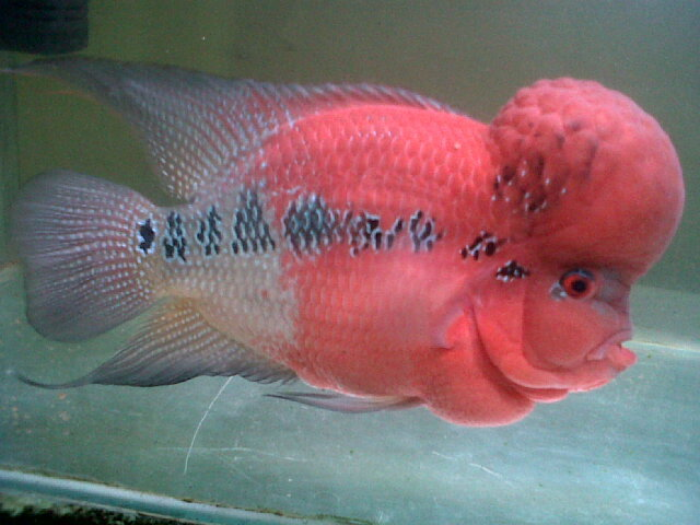 I Have A Flowerhorn Baby. So What Can I Do To Make Its ...