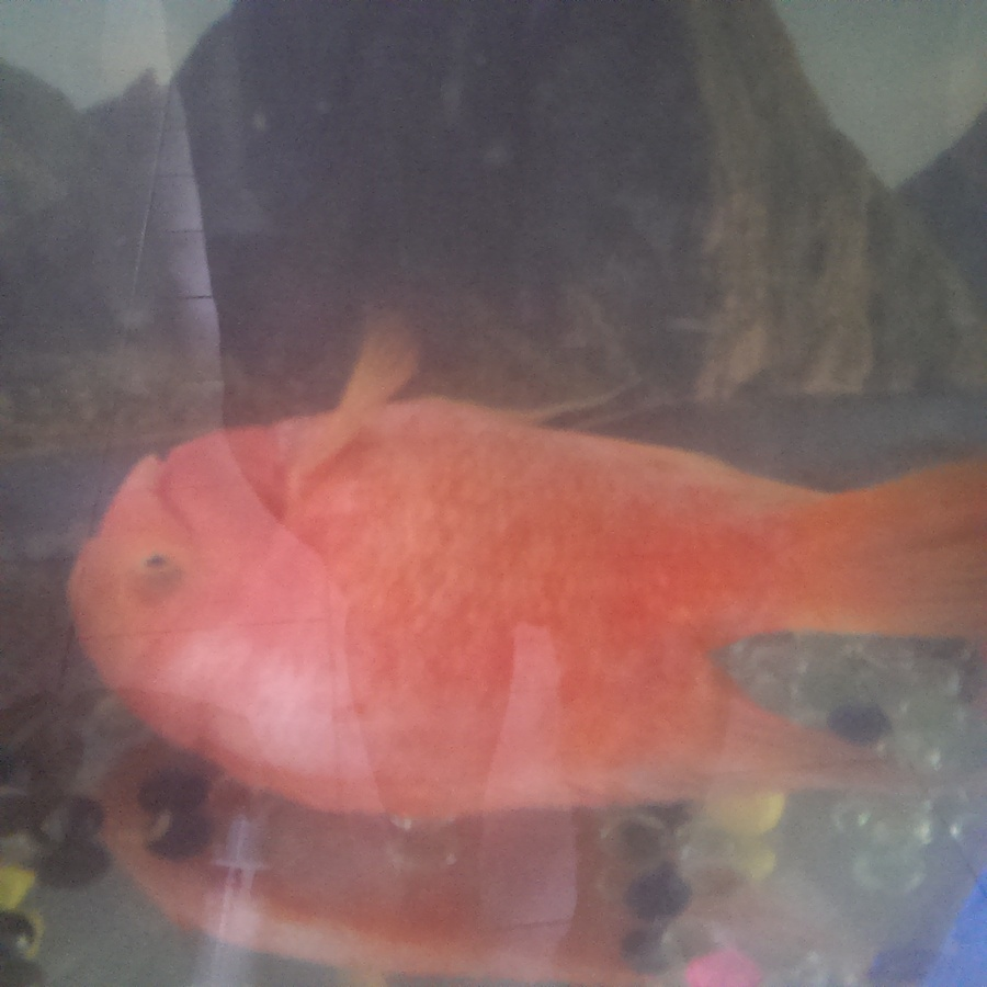 Hey I Have Two Parrot Fish. Around 8 Years Old. I Recently Did A ...