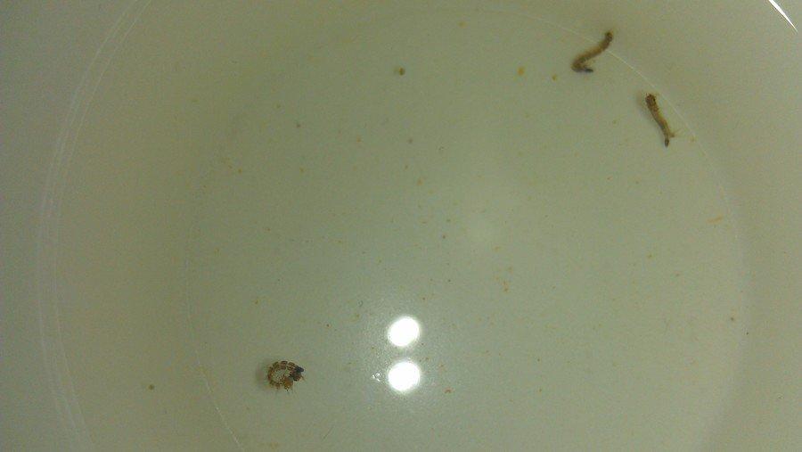 Worm Like Things Found In My Frog Aquarium My Aquarium Club