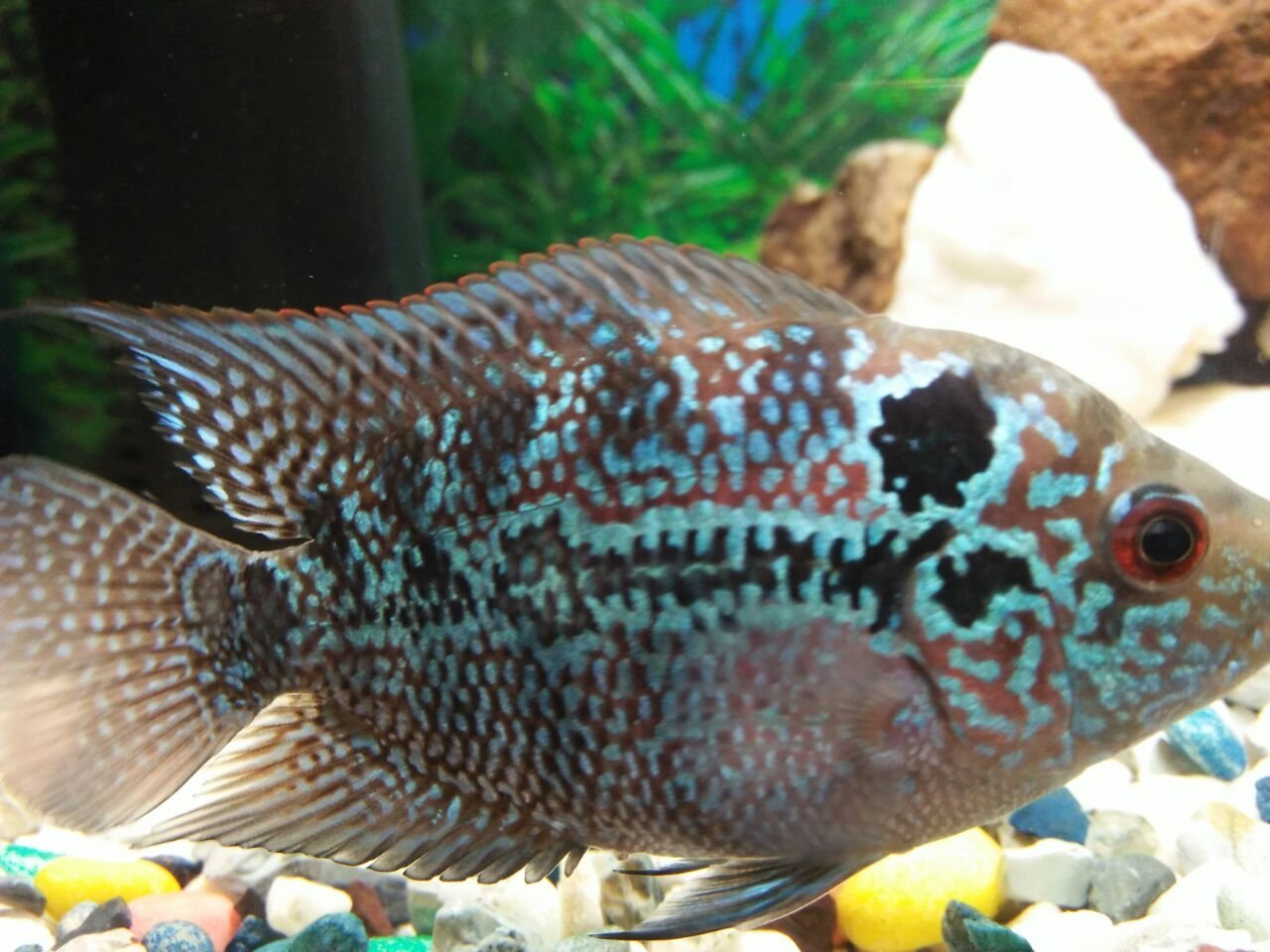 About Gender Of My Flowerhorn  | My Aquarium Club
