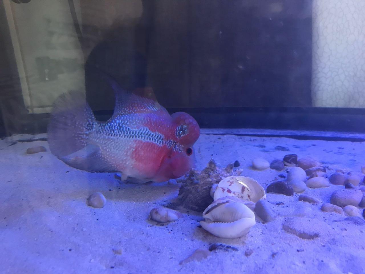 My Female Flowerhorn With A Huge Hump   My Aquarium Club