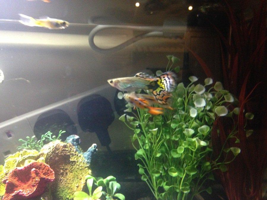 Endlers Attacking New Guppy My Aquarium Club