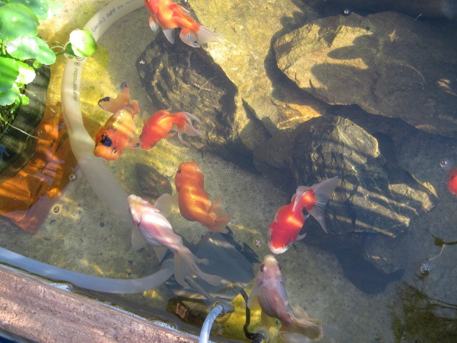 Outdoor ponds gold fish and koi my aquarium club for What fish can live with goldfish in a pond
