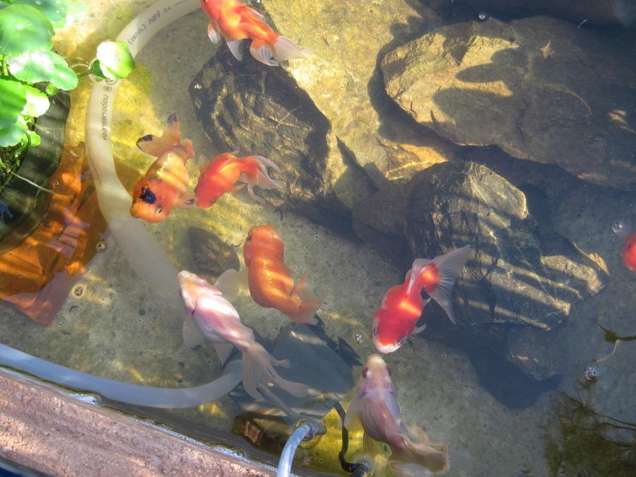 Outdoor Ponds Gold Fish And Koi My Aquarium Club
