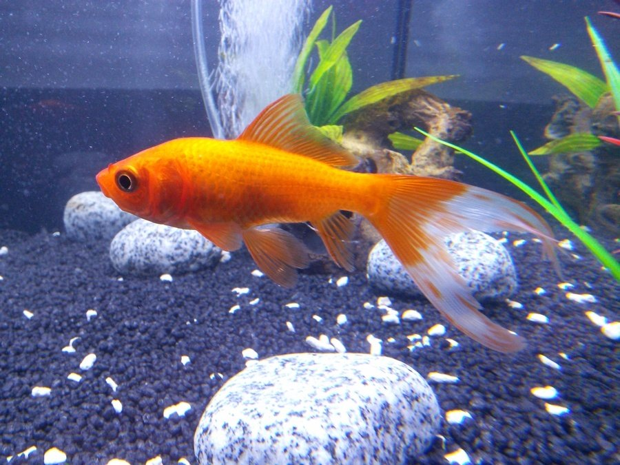 Complete fish compatibility list my aquarium club for What fish can live with goldfish
