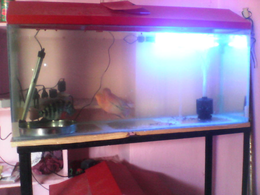 My Tank Size 100 Liters Flower Horns Size Of 7 Inches Male And