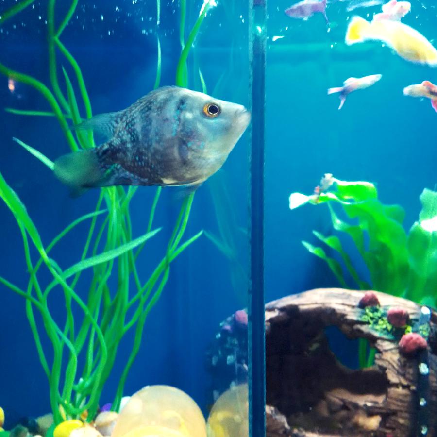 Is My Short Body Flowerhorn Male Or Female  My Aquarium Club-9518