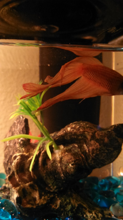 My Beta Fish Is Very Still And Has Red At The Ends Of His