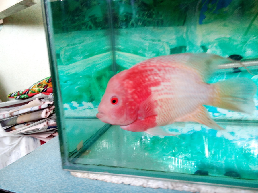 Please Tell Me Whether My Flowerhorn Is Male Or Female? My Tank Size