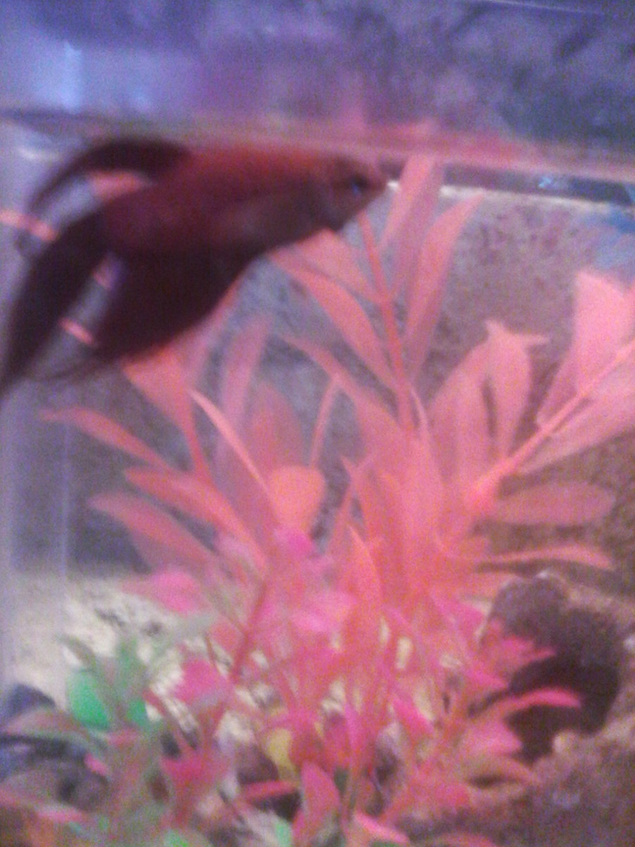 My Betta Has Swim Bladder And His Stomach Is Bloated And
