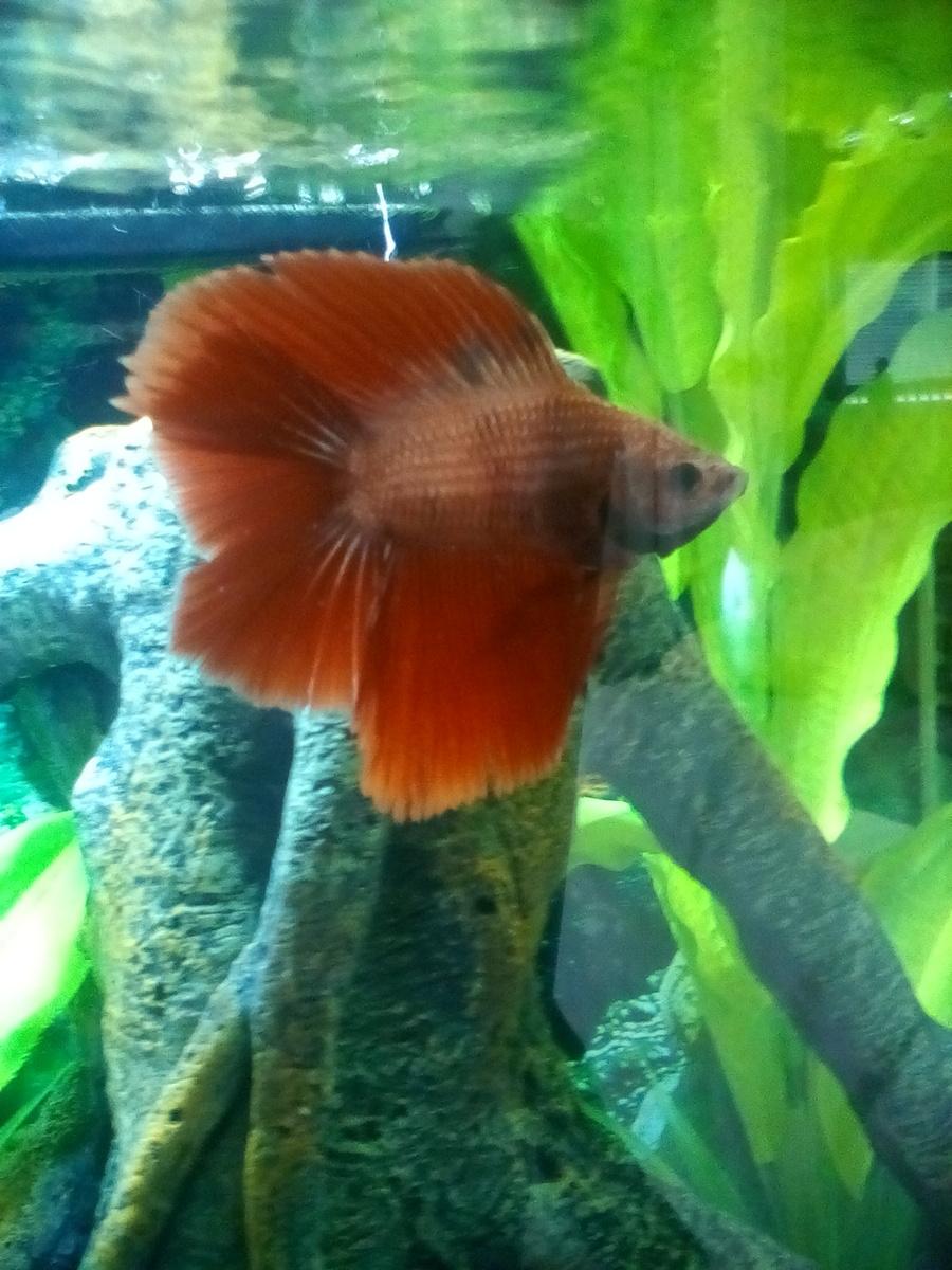 White Spots On Betta Fish??? | My Aquarium Club