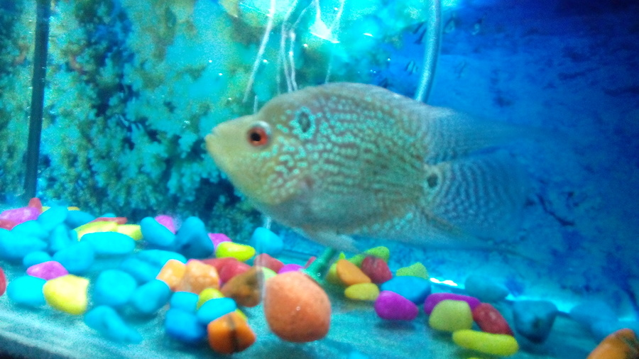 Hi Guy Need Ur Help I Am Going To Buy My First Flowerhorn But I My Aquarium Club
