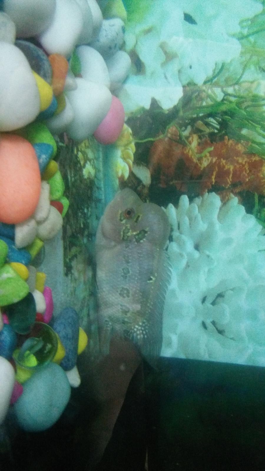 Flowerhorn Changes Color | My Aquarium Club