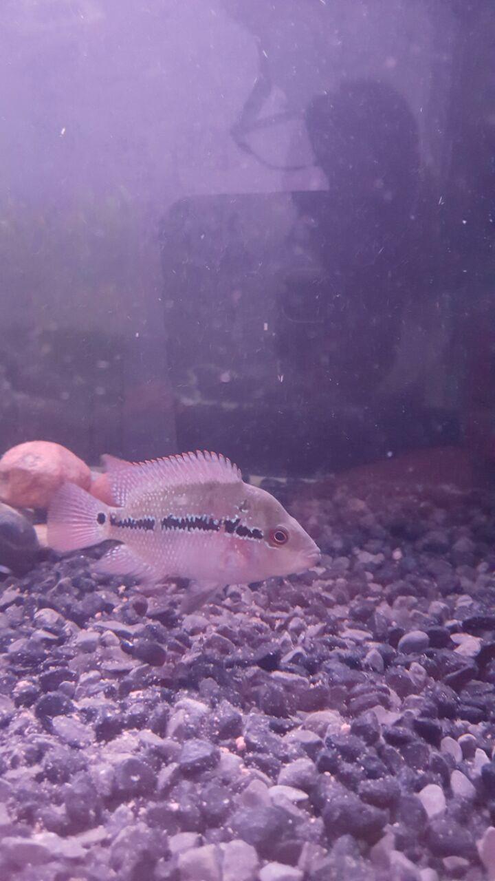 Sexing Baby Flowerhorn ? | My Aquarium Club