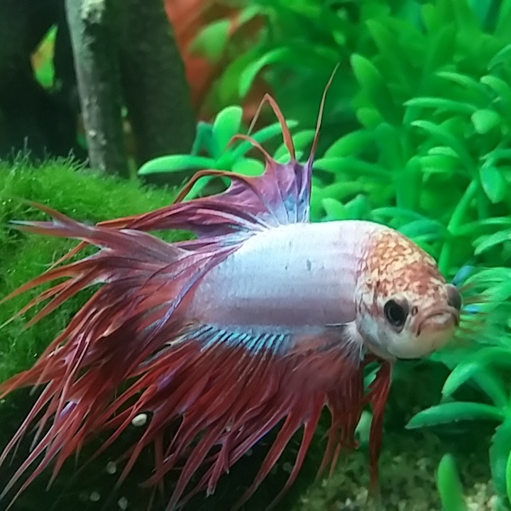 I Have A Crowntail Betta And He Is Currently The Only Fish ... - photo#43