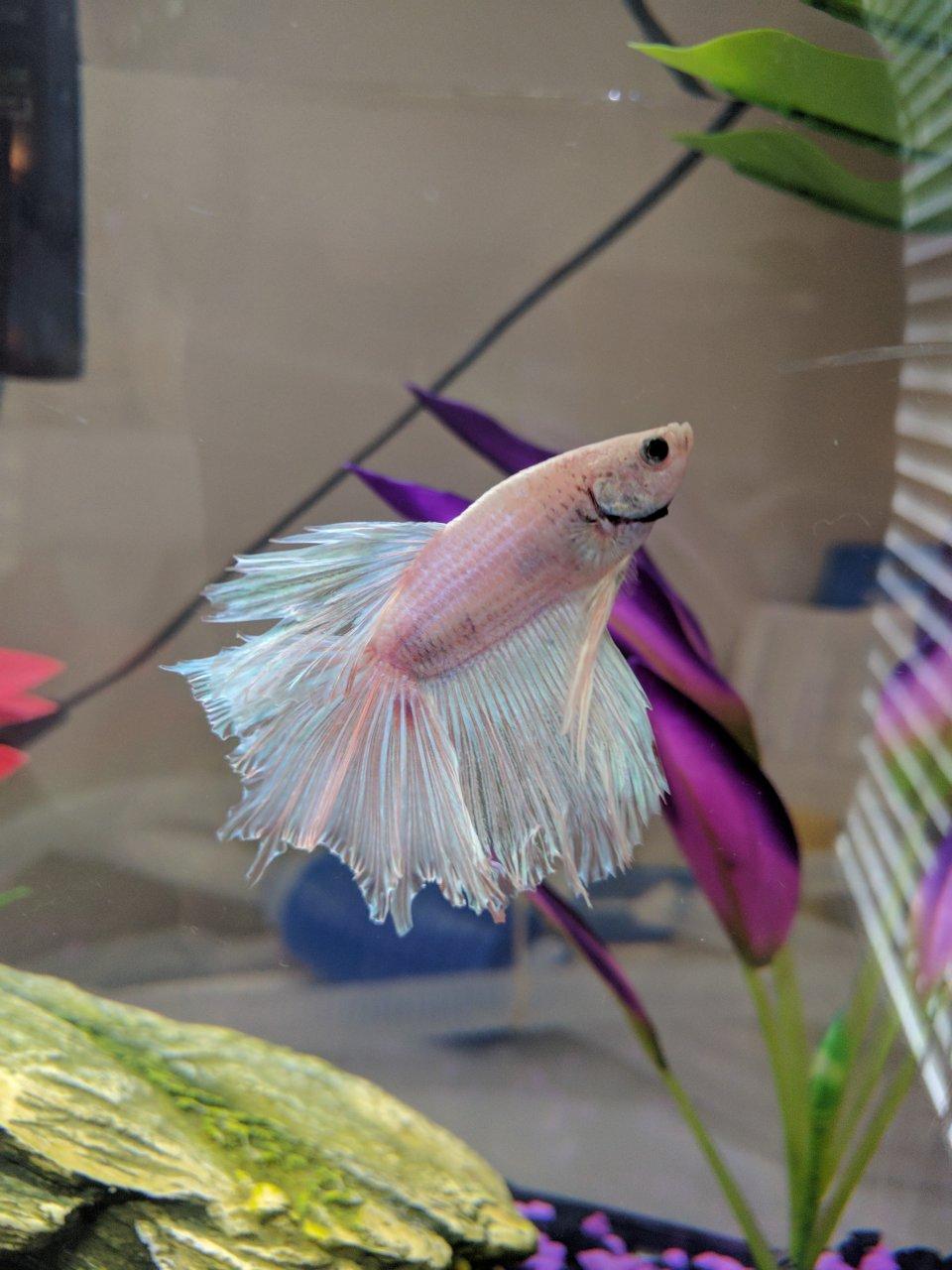 Persistent Fin Rot In My Betta My Aquarium Club