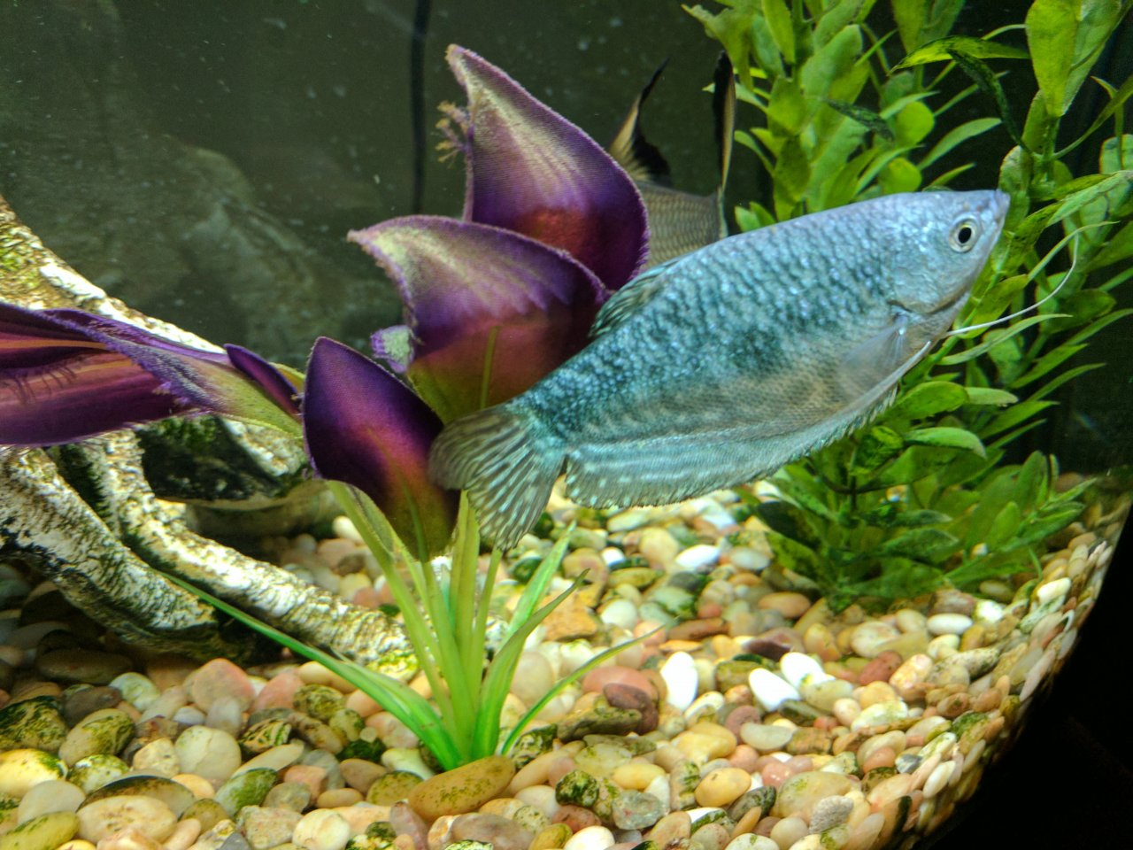 Gourami Scales Changing Colour? | My Aquarium Club