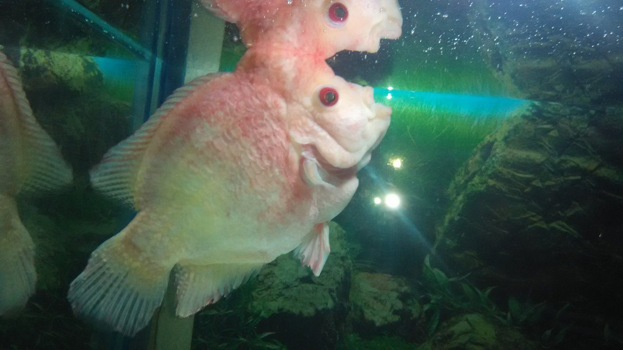My Flowerhorn Not Eating Food | My Aquarium Club