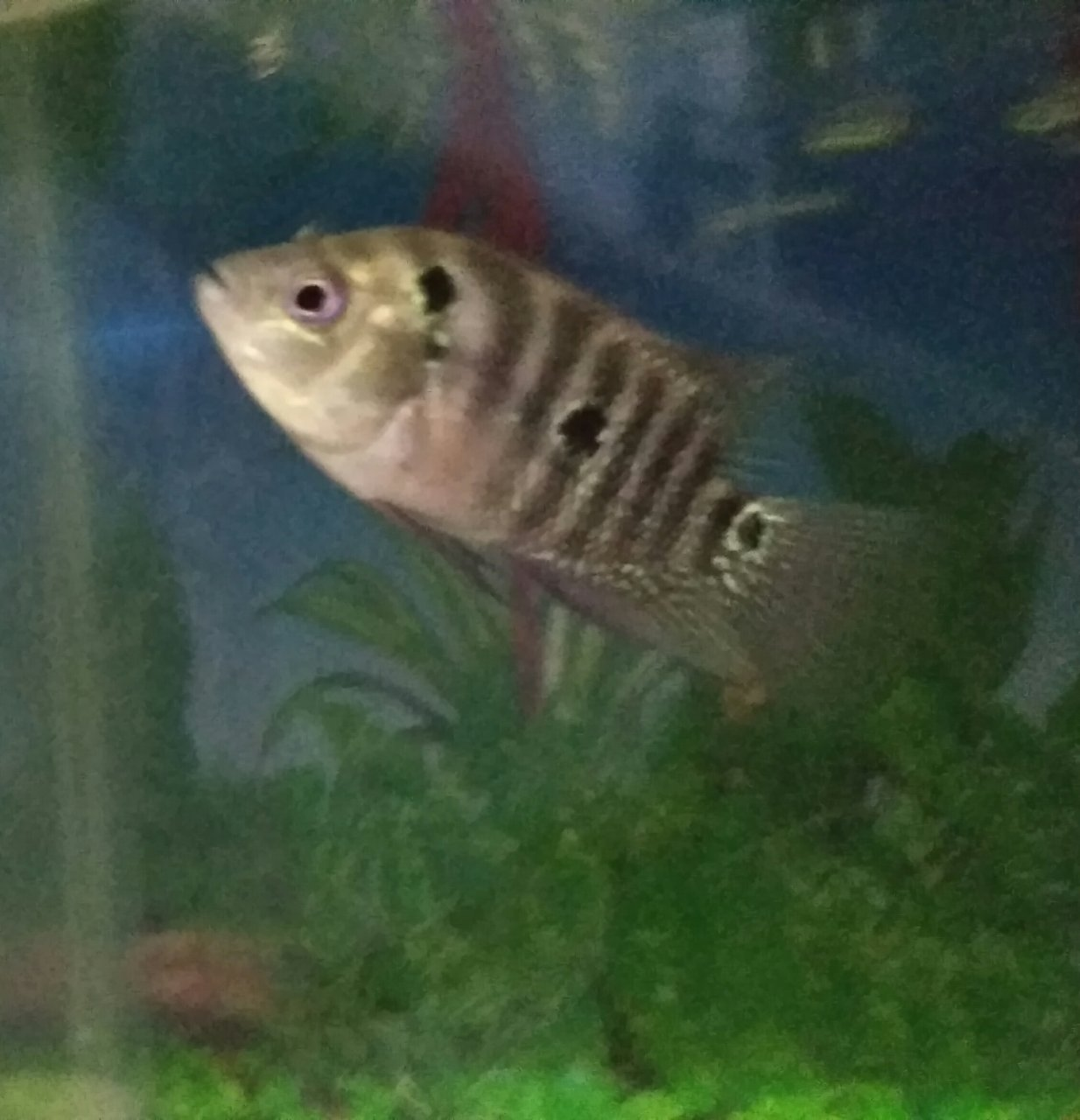 This Is My New Flowerhorn Baby\'s But Two Of Them Are Different In ...