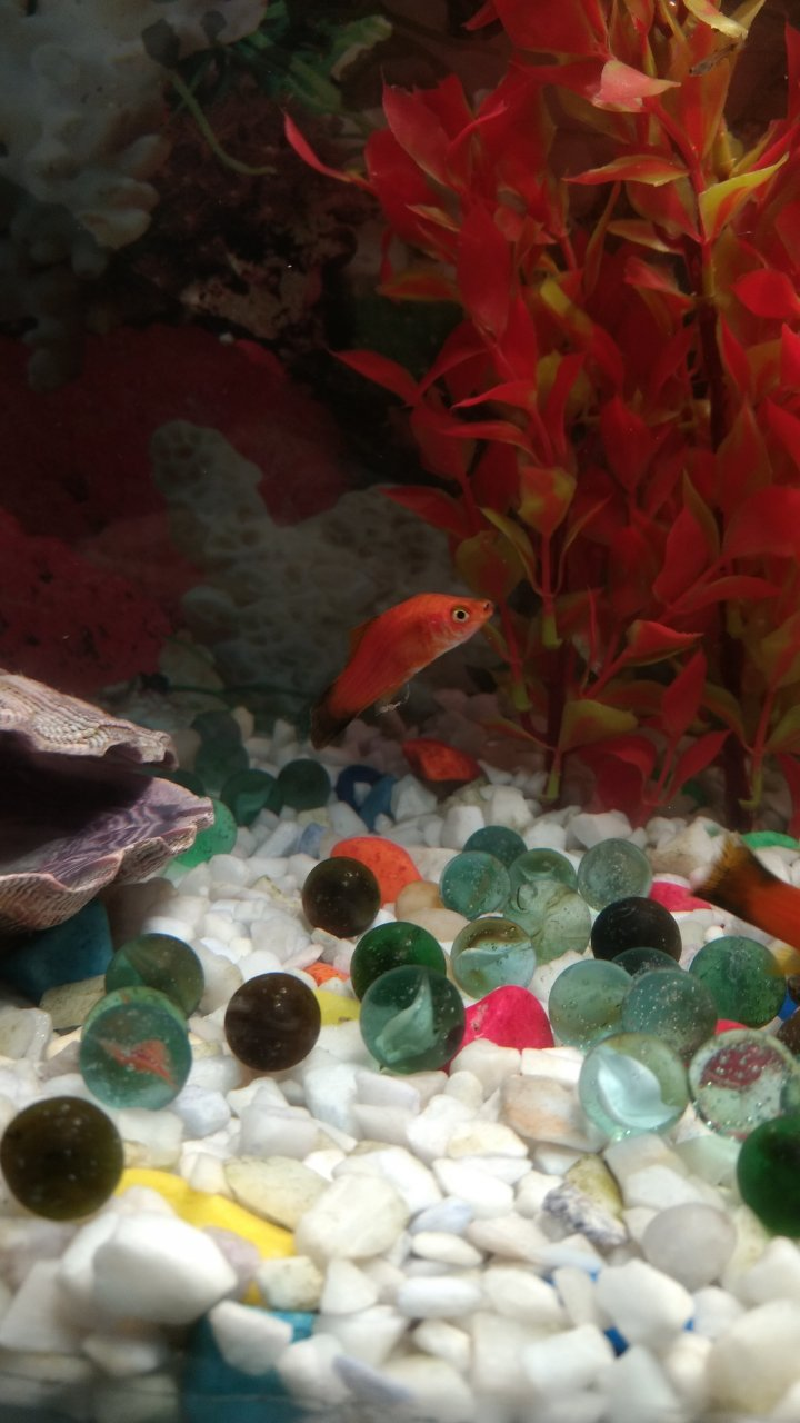 Platy Shape Changed | My Aquarium Club