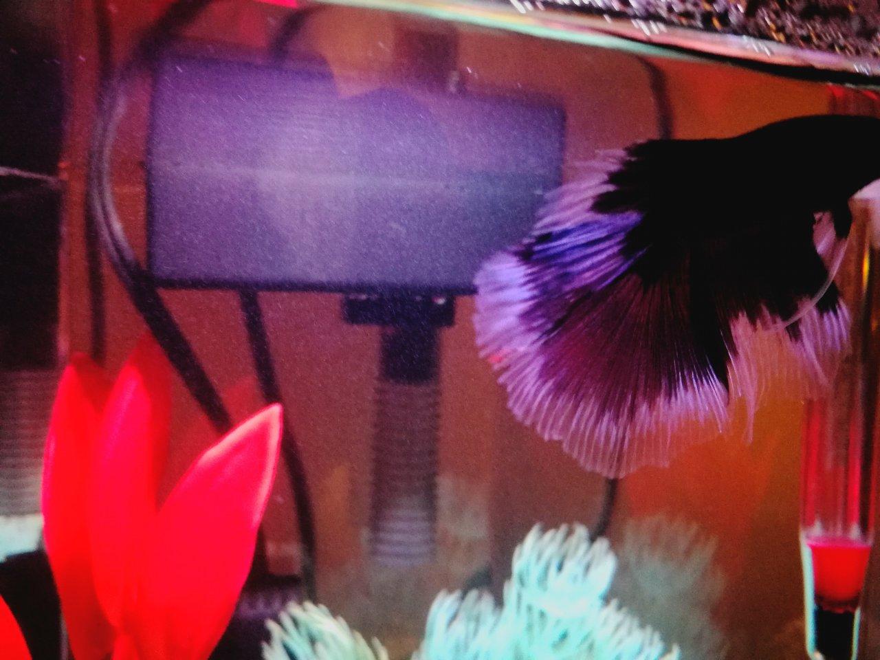 My Betta Has A Red Stripe On The Fin | My Aquarium Club