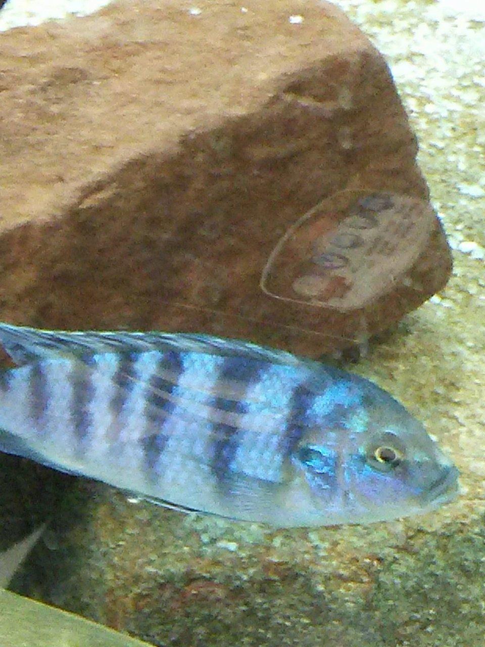 Male Or Female African Cichlid My Aquarium Club