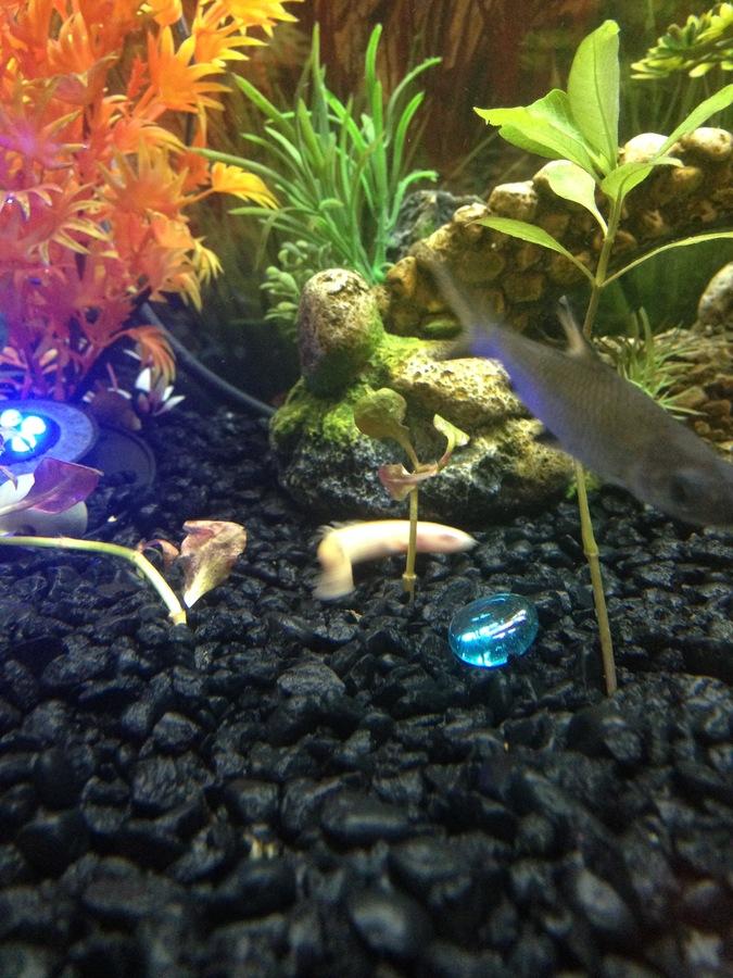 New Bichir Questions My Aquarium Club
