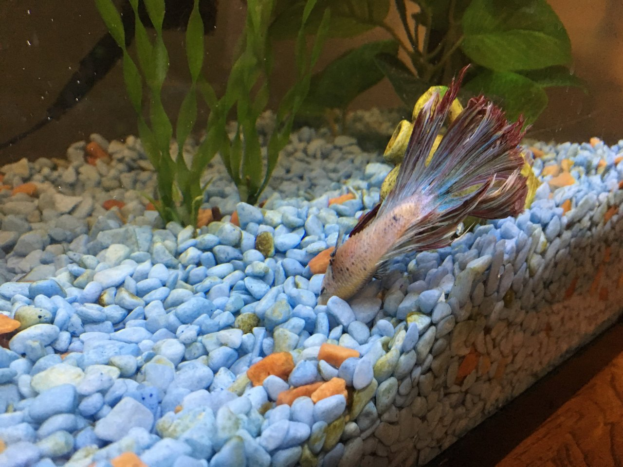 what to do when your betta fish wont eat