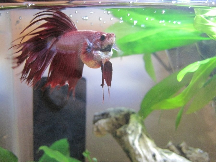 Severely bloated betta i 39 ve tried everything my for Bloated betta fish