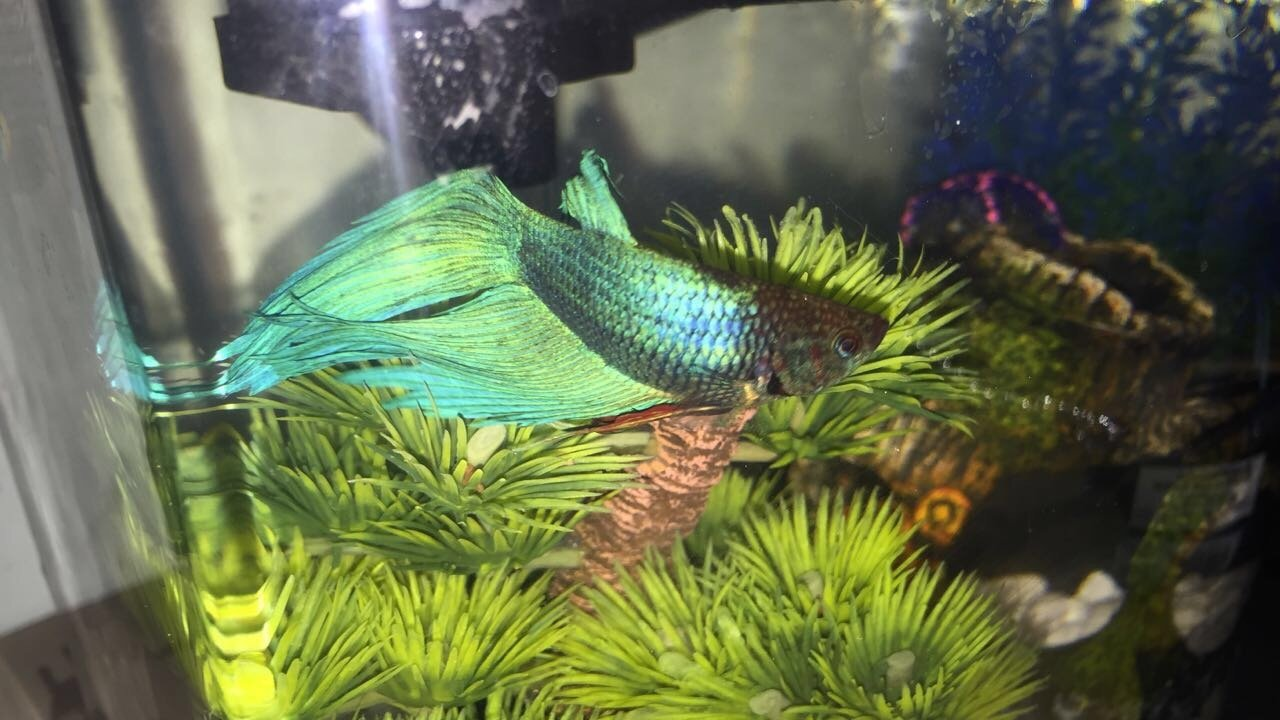 My Betta Fish Has A Black Head | My Aquarium Club