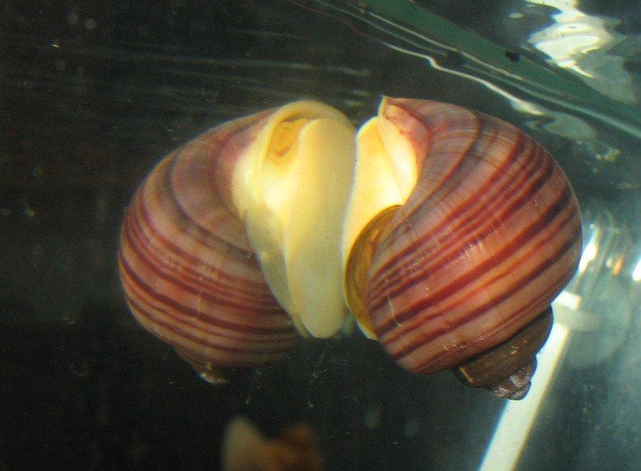 Mystery Snail Basics Aka Pomacea Diffusa My Aquarium Club