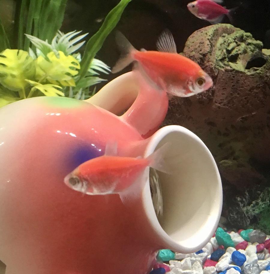 Tetra Glofish Pop Eye? | My Aquarium Club