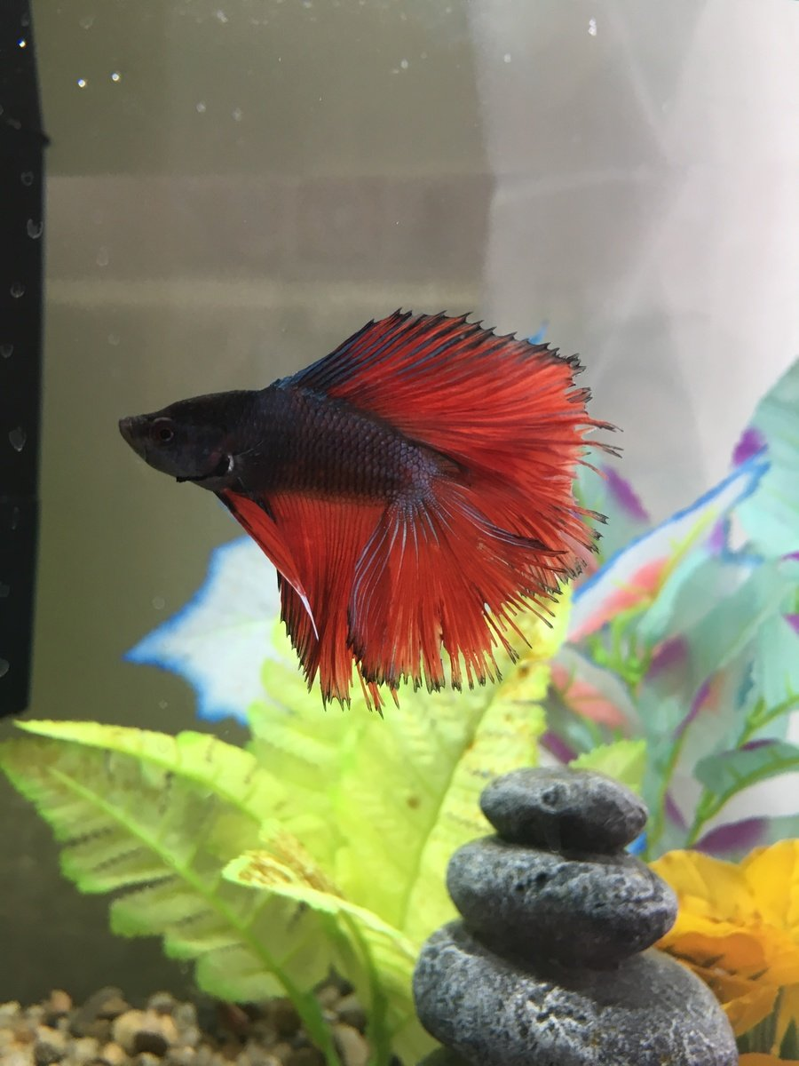 Betta Fin Loss/Sick Betta | My Aquarium Club