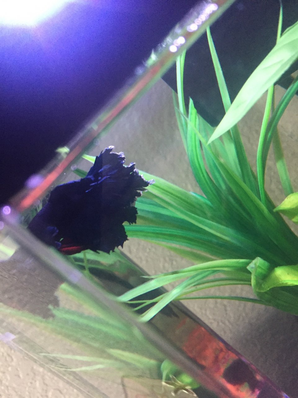 My Betta Fish\'s Fins Are Turning White At The Tips? | My Aquarium Club