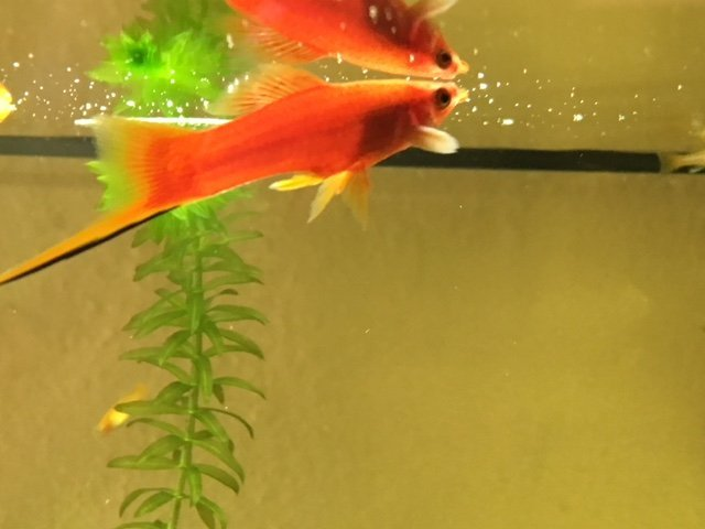 Swordtail With Possible Fin Rot Is Not Closing His Mouth Help My Aquarium Club