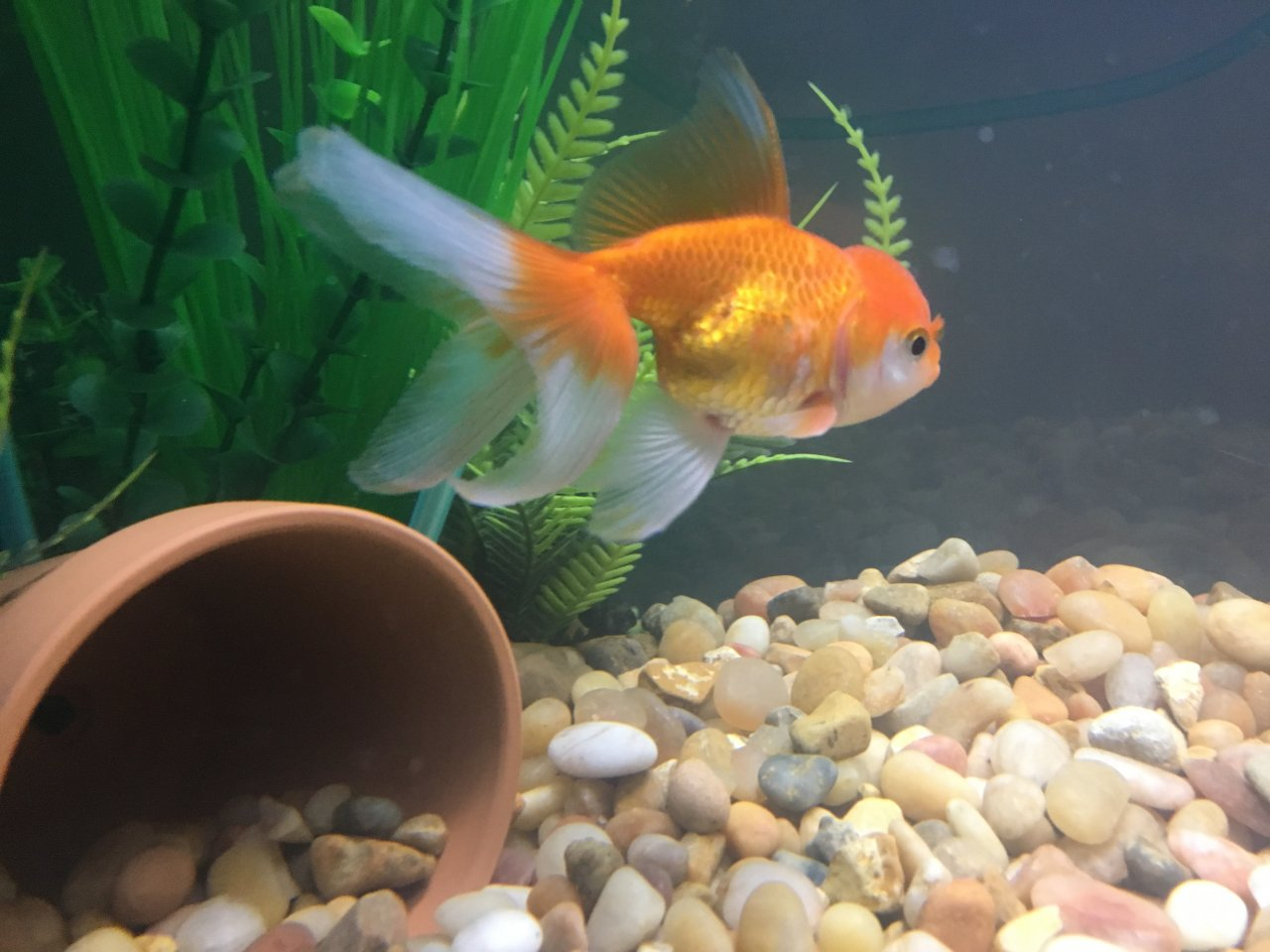 GOLDFISH LOSING SCALES?! HELP! | My Aquarium Club