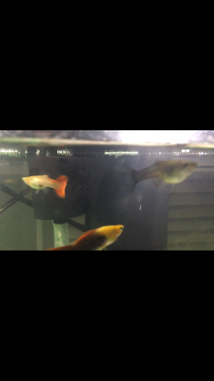 Mammy guppy births twice my aquarium club even know how to tell correctly despite raising guppies for the past 10 years of my life haha sorry the photos suck shes refusing to stay still nvjuhfo Images