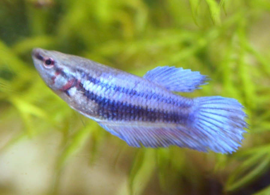 Hi My Betta Fish Has Red Stripes Again My Aquarium Club
