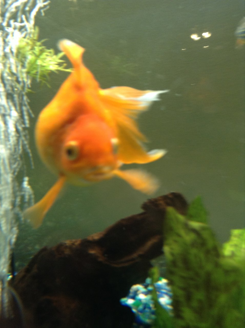 Please Help Goldfish Needs Urgent Care I Have A Ryukin