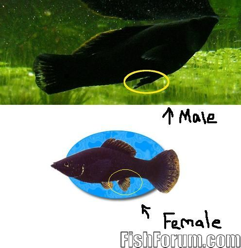 Is It A Male Or Female Black Mollie  My Aquarium Club-4721